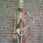 """Joe"" Petaluma Pilates with Anne Skeleton Mascot"